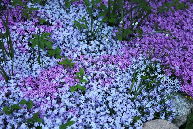 Flowers of creeping Phlox, carpeted, styloid, ground cover, blooming, Цветы