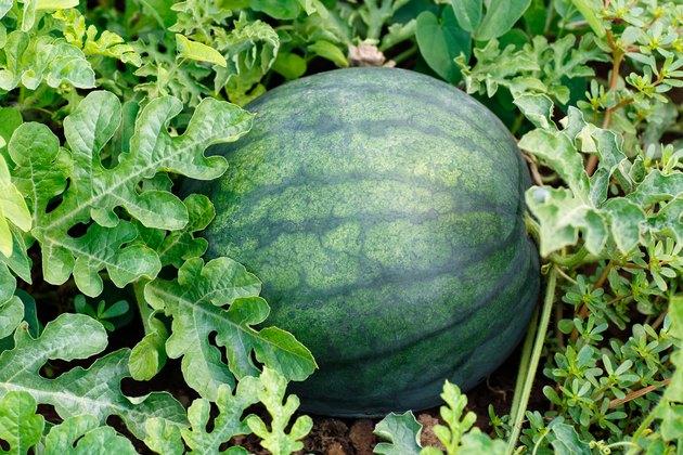watermelon in the field