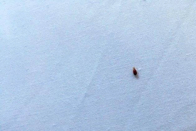 Bedbug on bed sheet after biting person