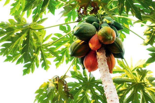 Papaya is ripe on tree.