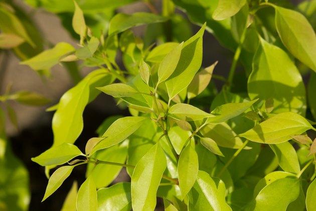 Leaf of Cinnamomum camphora tree