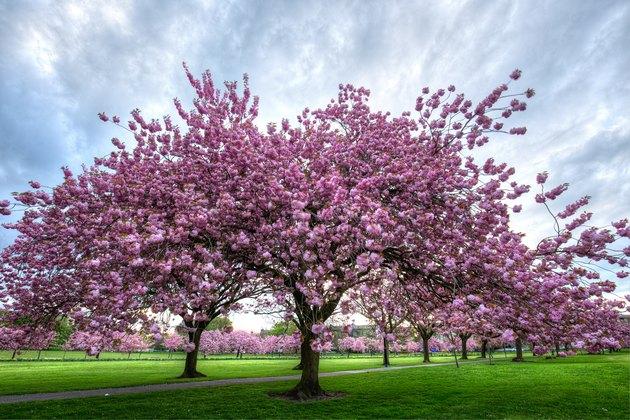 cherry blossom trees on the Stray Harrogate Yorkshire