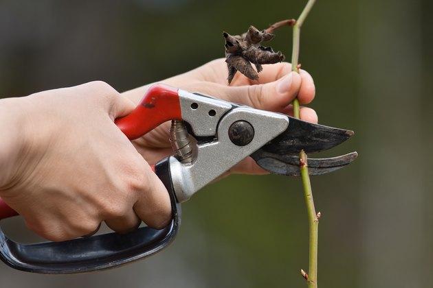 hands pruning rose in the garden