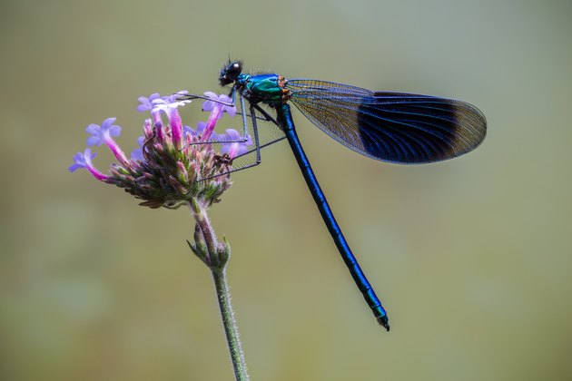 Banded Demoiselle perched on a purple flower