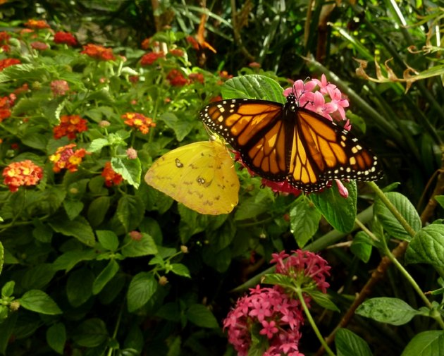 Monarch and Sulfur Butterflies