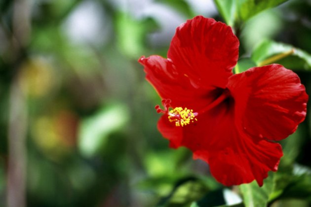 Hibiscus Leaf Facts