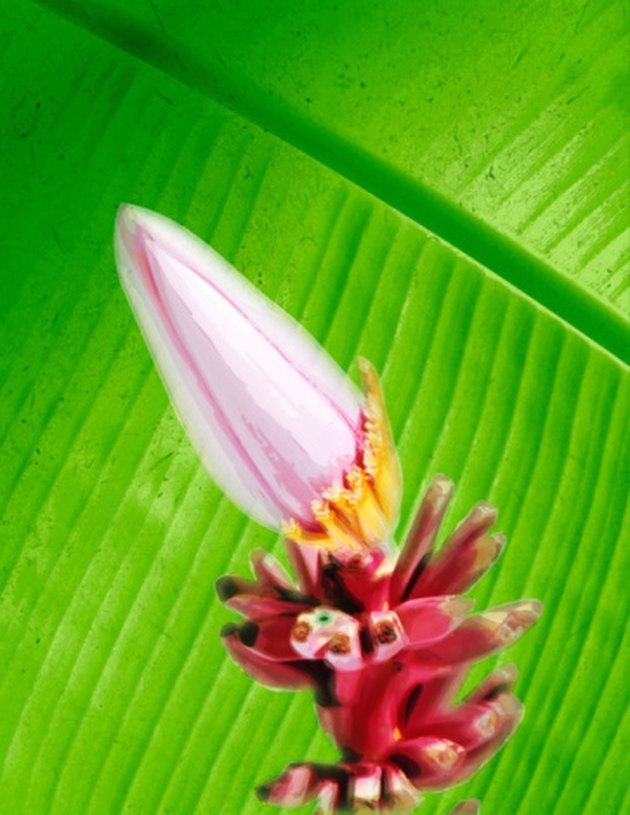 Flower on a banana truee