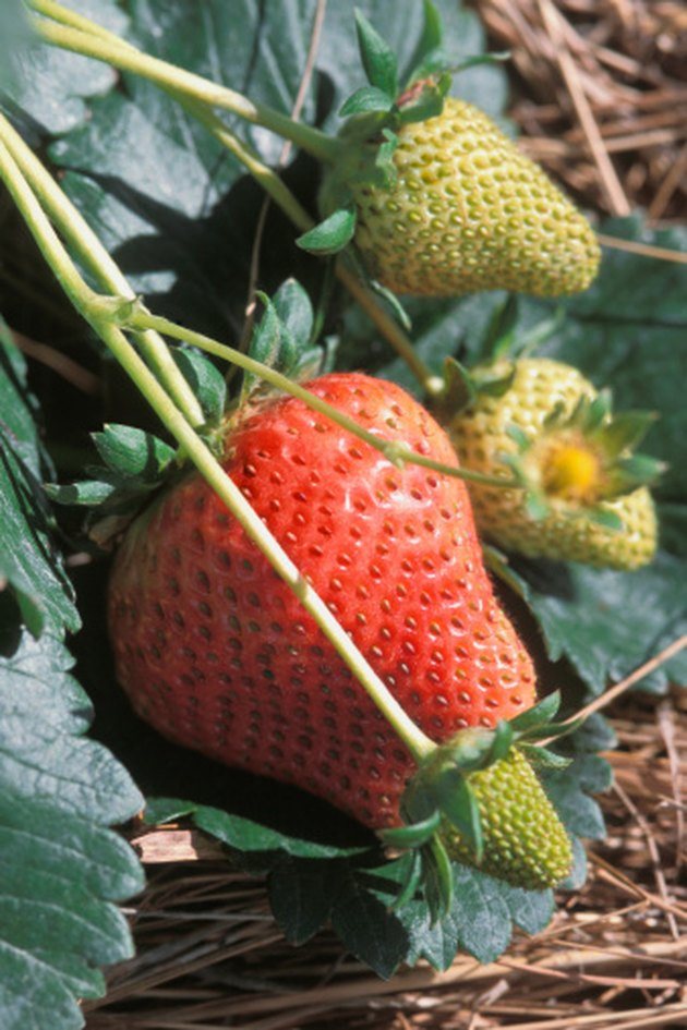 Organic Ways to Keep Ants Out of My Strawberry Plants