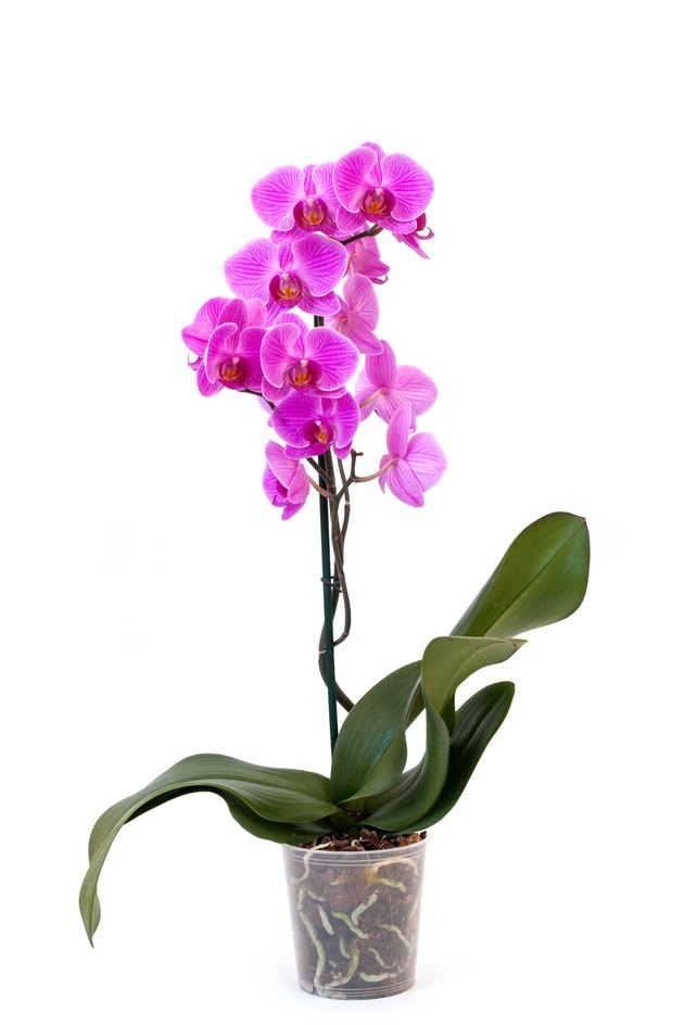 Phalaenopsis orchid in pot.