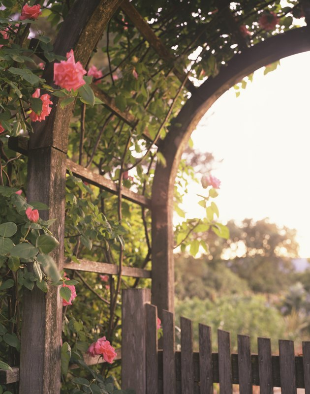 Climbing roses on arbor.