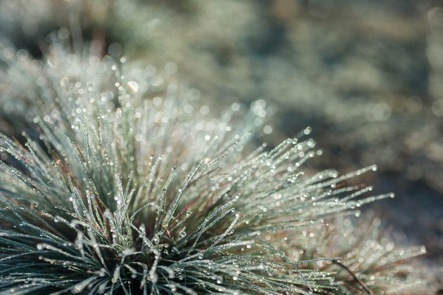 Festuca (fescue) grass with water drops