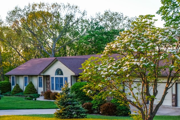 Blooming white dogwood trees growing in front yard of Midwestern house