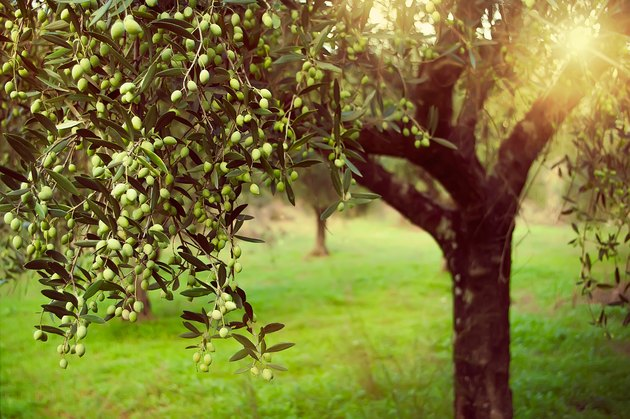 Vintage toned olive grove with sunlight beams