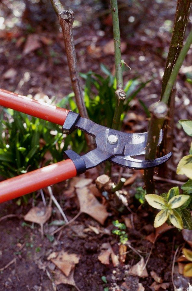 Pruning rose using large secateurs