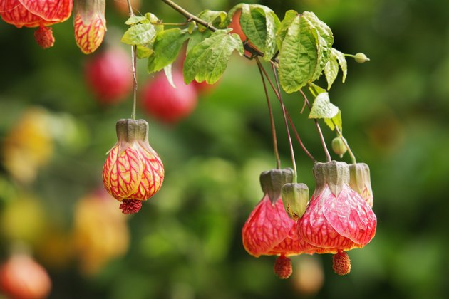 Abutilon Flowering Maple Tree Blossoms