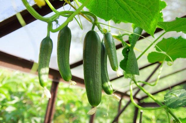Cucumbers in greenhouse. Growing cucumbers.