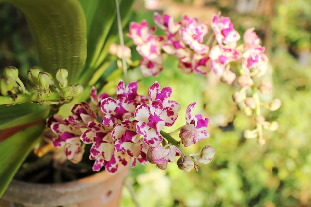 Pink white rhynchostylis  gigantea orchid flowers.