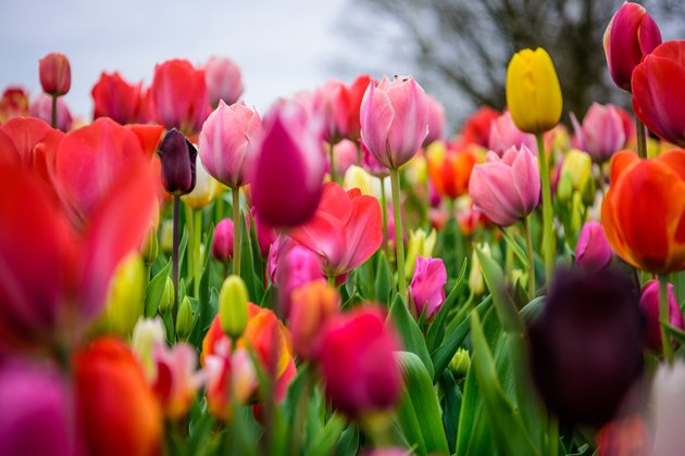 Assorted tulips in all colors, large picture