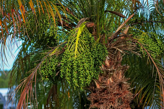 Green bunch of pygmy date palm