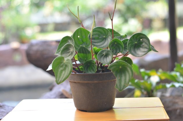 Watermelon peperomia plantlet on a brown table against blurred farm background