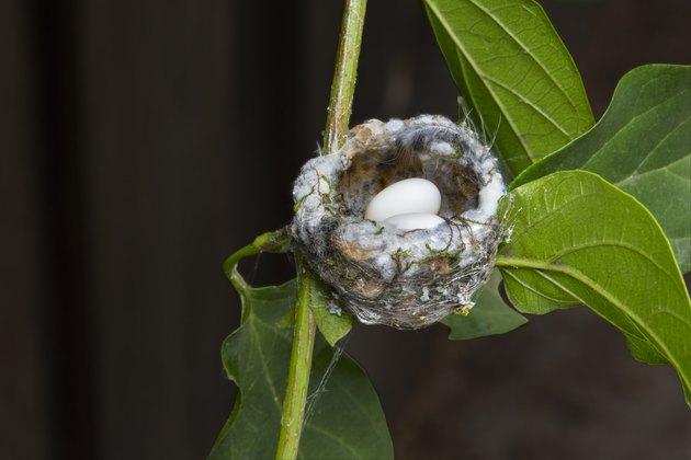 Hummingbird nest eggs