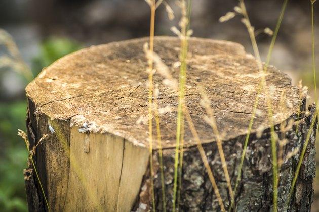 Cut tree stump