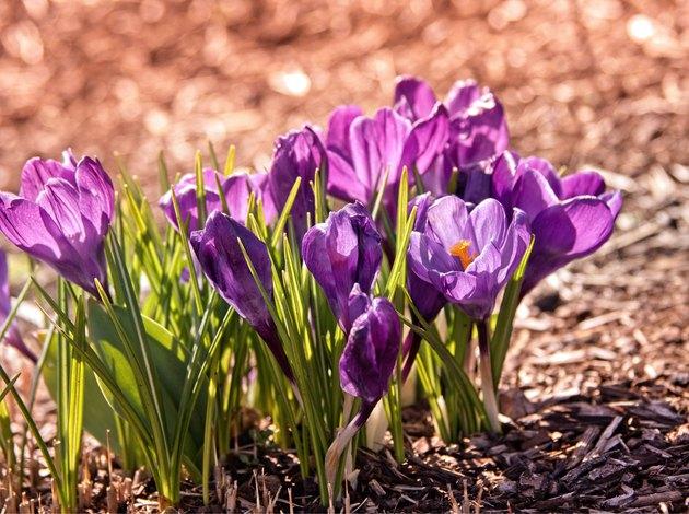 Blooming purple crocuses