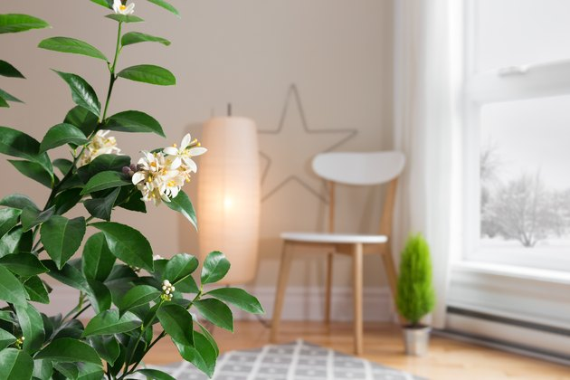 Blooming lemon tree in a cozy living room with a view