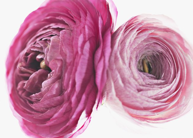 Close up of pink ranunculus