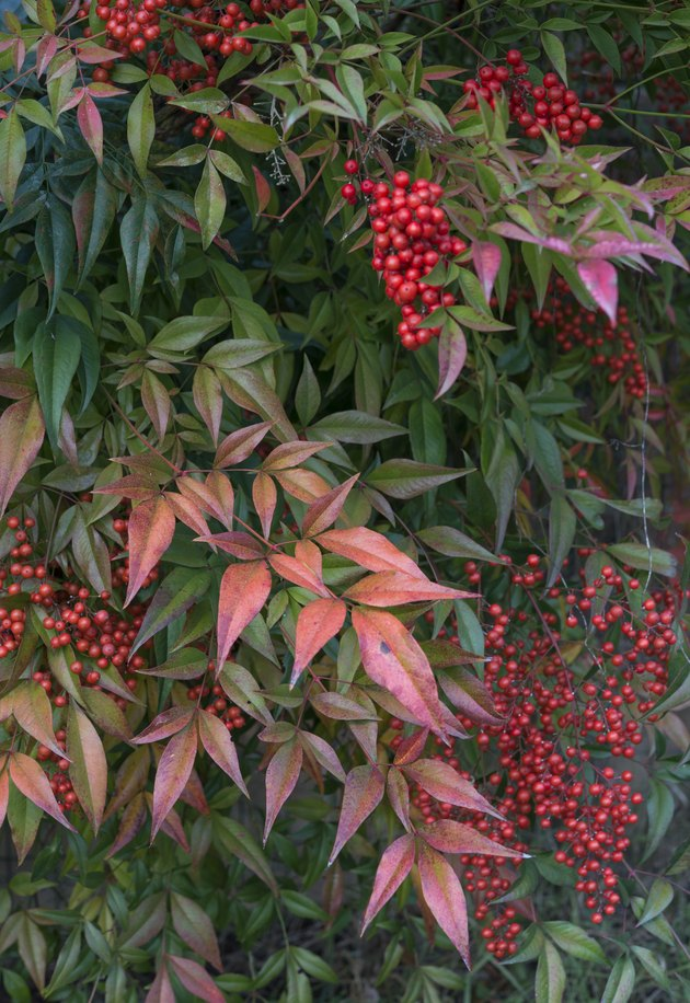 nandina domestica background