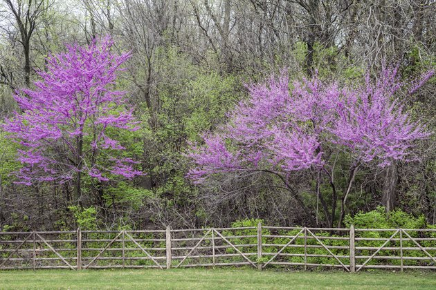 Redbud Trees and Fence