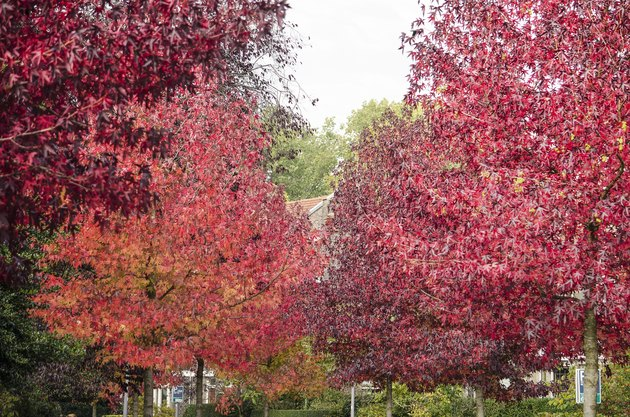 Sweet gum trees in a residential neighbourhood