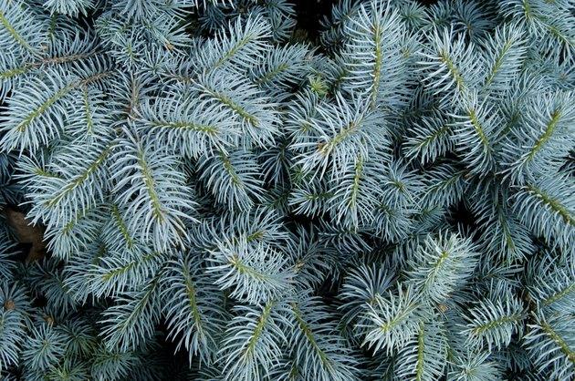 Blue Spruce Backround