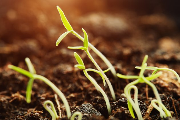 Young seedlings germinating from the soil