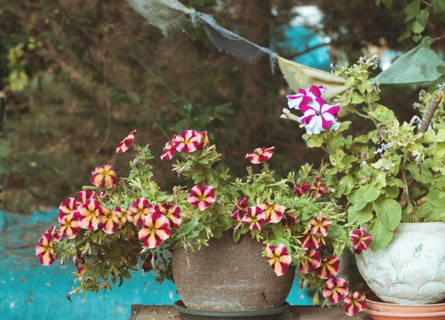 Pot with magenta, purple and white petunias
