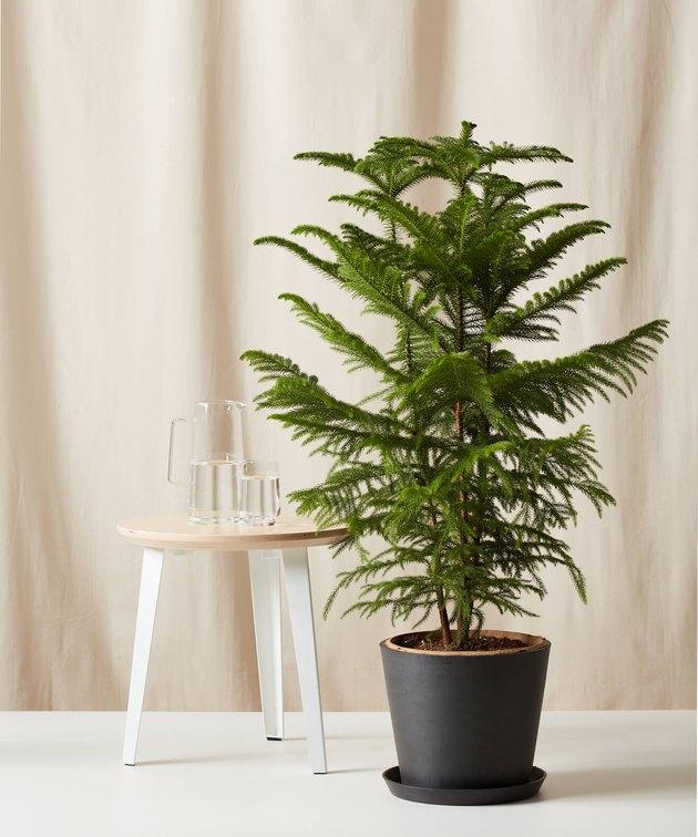 Norfolk pine Bloomscape