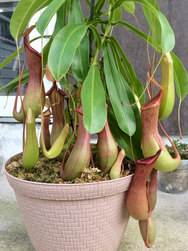 Nepenthes tropical pitcher plants (Nepenthes spp.)