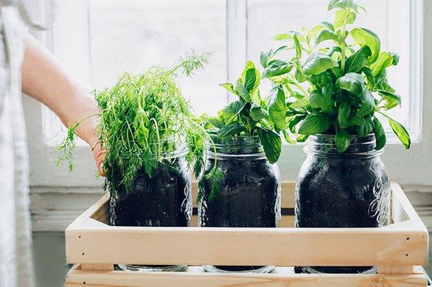 Herbs in glass jars by window; indoor garden