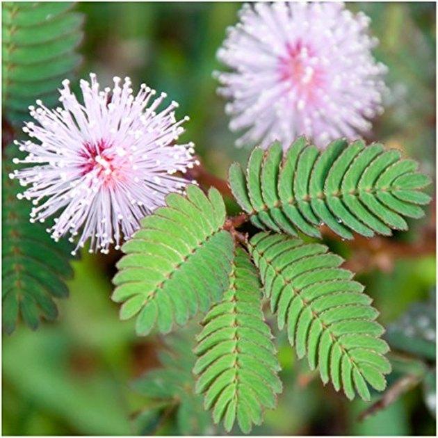 The sensitive plant (Mimosa pudica)
