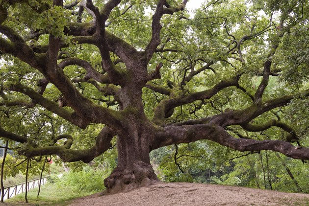 Huge oak tree with long branches