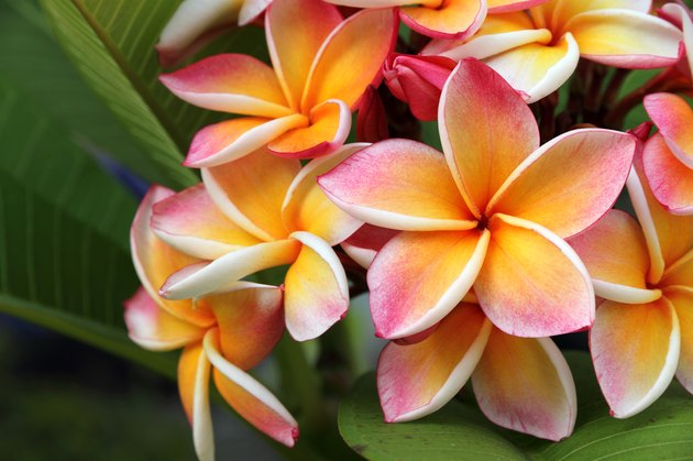 Frangipani, Plumeria flower