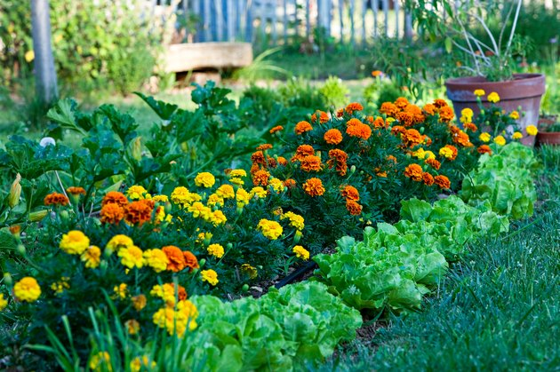Salads and marigolds in a garden