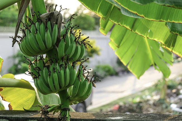 group of green banana fruit hanging on tree with leaves in organic farm. Fresh tropical plant growing outdoor garden.