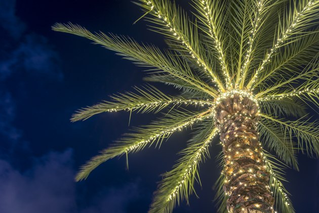 Surfside Florida Tropical Winter Palm Tree Decorated with Christmas Lights