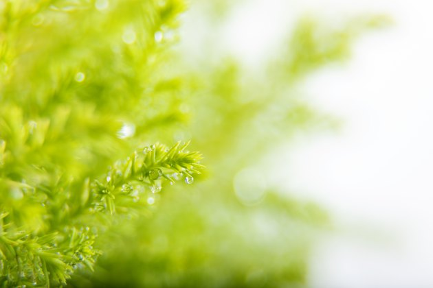Closeup of Lemon cypress branch isolated on a white background
