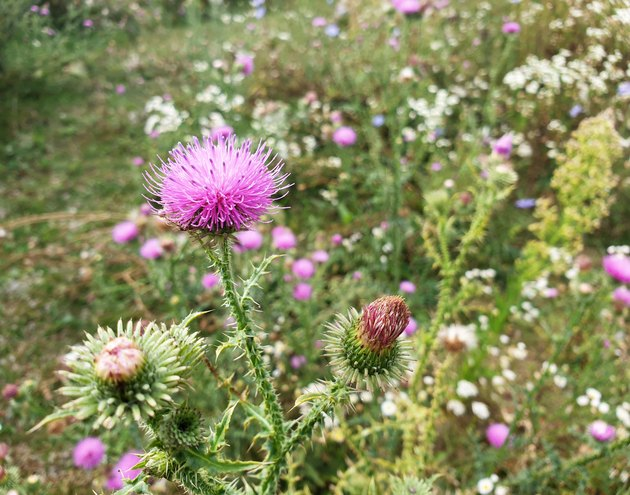 Blooming purple flower heads of milk thistle.
