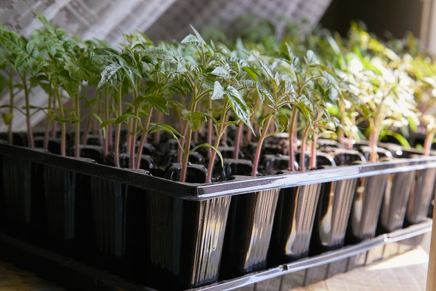 Seedling tomato in tray