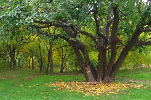 Mulberry tree in autumn