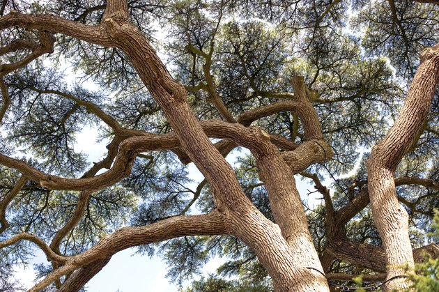 Cedar of Lebanon tree, England in Autumn