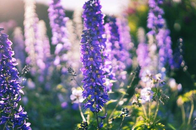 Fleurs de delphinium